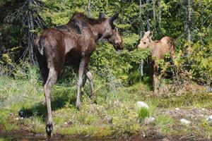 Wildlife at Lake - Moose and Calf